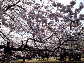Sakura04011