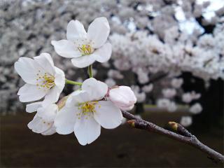 Sakura04013
